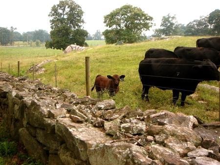 stonebarnscows.jpg